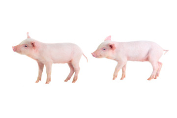 two pig