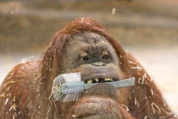 orang utan monkey close up portrait at the zoo
