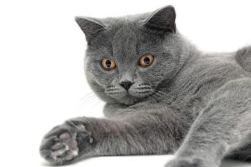 Portrait of a gray cat breeds Scottish Straight on white backgro
