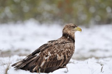 Eagle on snow