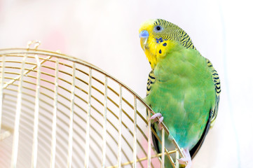 A green Budgerigar sits on birdcage