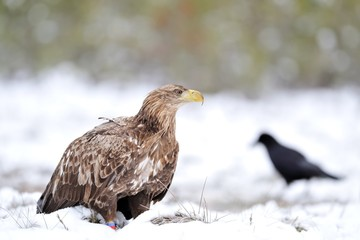 Eagle and raven on snow