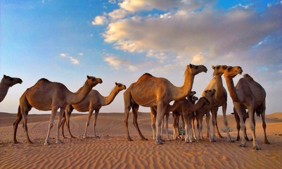group of camels in desert