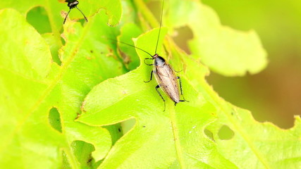 Two beetles encounters on a oak leaf