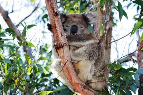 Keuken foto achterwand Koala Koala im Eukalyptusbaum - Australien