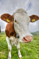 Portrait of a cow in the Alps.