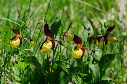Quadro orchidea scarpetta di venere vendita online quadri e
