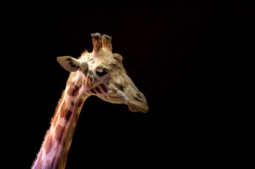 Circus giraffe close up portrait