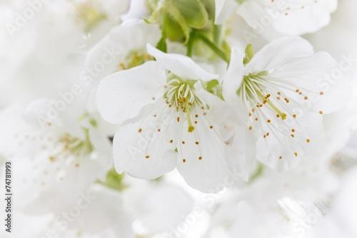 Papiers peints Cerises Apfelblüten
