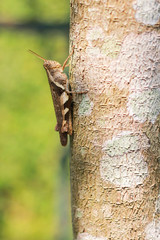 Grasshopper resting on tree