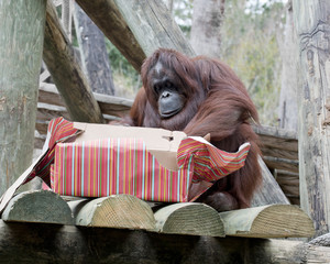 Merry Christmas, Orangutan