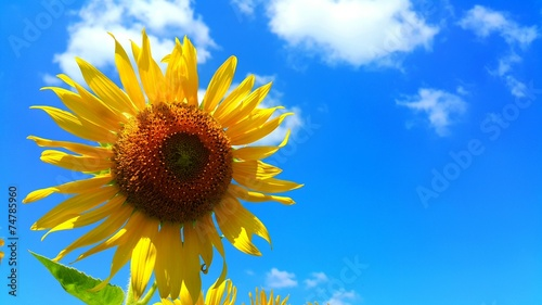 canvas print picture Sunflower in afternoon