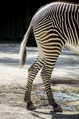 Close up view of the back portion part of a Zebra animal.