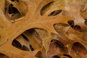 Pin oak leaves in fall