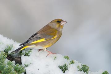 Male greenfinch on a snowy cedar branch