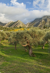 olive trees and mountains