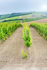 Juicy green vineyards in Chianti, Italy