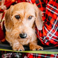 Wirehaired Dachshund Sits In Hands Of Mistress. Close Up Dog Por