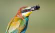 Obrazy na płótnie, fototapety, zdjęcia, fotoobrazy drukowane : Bee-eater with Bumblebee