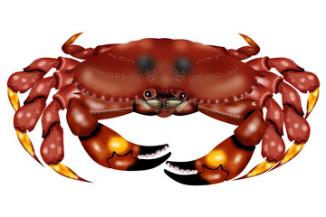 crab cancer pagurus white background