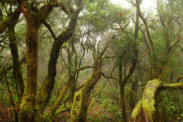 Laurel forest in Canary Islands, Spain
