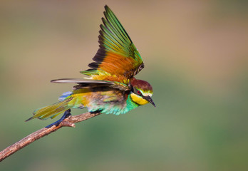 Bee-eaters in flight