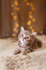 British kitten, Christmas and New Year