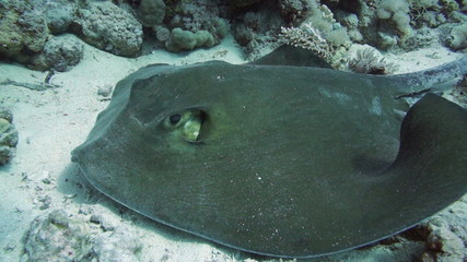 Front view of Feathertail stingray and cleaner wrasse