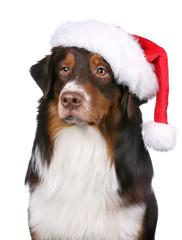 Australian Shepherd with Santa hat