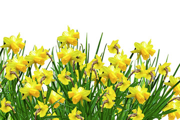 yellow flowers daffodils
