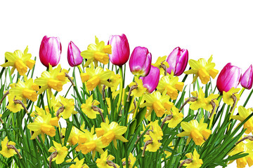 Pink and yellow flowers tulips and daffodils