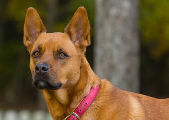Akita cross female dog portrait