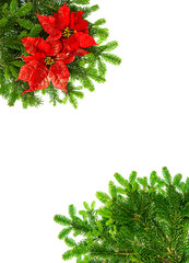 christmas tree branches with red poinsettia flower