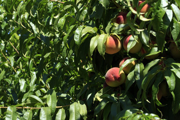 Ripe peaches ready for harvest