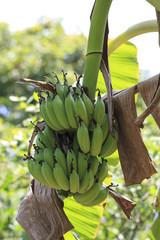 Banana Plantation And Bananas