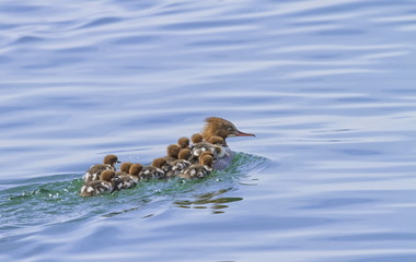 Female goosander, mergus merganser, and babies
