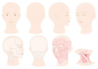 フェイス 顔 筋肉 骨 ヘア 髪 美容 4