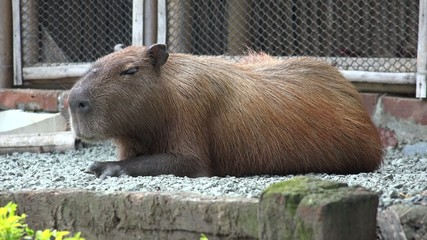 Rodents, Capybara, Zoo Animals, Mammals, Wildlife