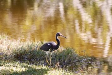 Grey Heron - Fairchild Gardens