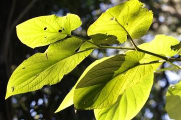 Fairchild Gardens - Leaves at sunlight
