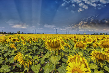 Field of sunflowers with beautiful sky