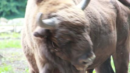 European bison (Bison bonasus), wisent. Aurochs