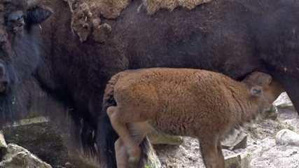 The American Bison (Bison Bison) Female feeds a calf