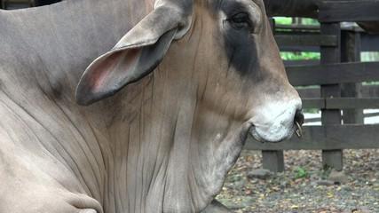 Zebu, Cattle, Cows, Bulls, Farm Animals