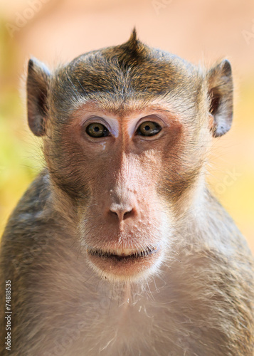 Keuken foto achterwand Aap Close-up of Monkey (Crab-eating macaque) in Thailand