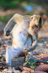 Monkey (Crab-eating macaque) relaxing on the stone in Thailand