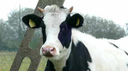 Portrait of black and white dairy cow
