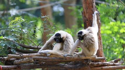Family White Cheeked Gibbon or Lar Gibbo