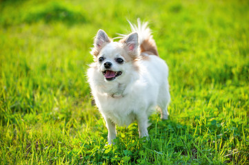 joyful Chihuahua dog on green lawn background in evening light