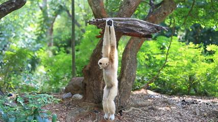 White cheeked gibbon hanging